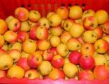 Šis Latgalē bija ābolu gads,