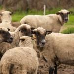 Latvijas tumšgalvainās aitas Rožu mājās. Foto: Māris Justs