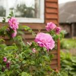 Rozes Rožu mājās. Foto: Māris Justs