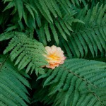 Papardes zieds. Eduarda Medvedeva foto