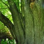 Līpu pudurs Zosnys muižys parkā. Foto: A. Rancāne